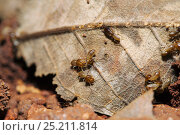 Купить «Termites (Isoptera) beginning to construct a mound using dead leaves as 'scaffolding', Budongo Forest Reserve, Uganda.», фото № 25211814, снято 21 марта 2019 г. (c) Nature Picture Library / Фотобанк Лори