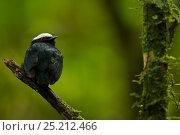 Купить «Male White-crowned Manakin (Dixiphia pipra) at a calling perch in his territory.Tiputini Biodiversity Station, Amazon Rainforest, Ecuador, January.», фото № 25212466, снято 25 апреля 2019 г. (c) Nature Picture Library / Фотобанк Лори