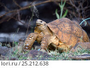 Купить «Leopard tortoise (Geochelone pardalis) Bogoria Lake, Kenya, Africa.», фото № 25212638, снято 17 июля 2019 г. (c) Nature Picture Library / Фотобанк Лори