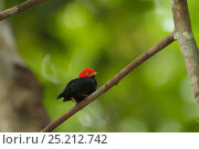 Купить «Adult male Red-capped Manakin (Pipra mentalis) at his display perch. Soberania National Park, Gamboa, Panama, December.», фото № 25212742, снято 21 августа 2018 г. (c) Nature Picture Library / Фотобанк Лори