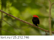 Купить «Adult male Red-capped Manakin (Pipra mentalis) at a display perch. Soberania National Park, Gamboa, Panama, December.», фото № 25212746, снято 21 августа 2018 г. (c) Nature Picture Library / Фотобанк Лори