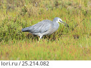Купить «White-faced Heron (Egretta novaehollandiae) feeding at edge of swamp, Tasmania, Australia.», фото № 25214082, снято 14 июля 2020 г. (c) Nature Picture Library / Фотобанк Лори