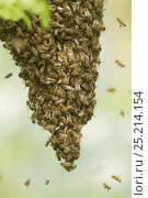 Купить «Honey bee swarm (Apis mellifera) hanging from a branch of a tree, Sheffield, England, UK, May.», фото № 25214154, снято 15 декабря 2017 г. (c) Nature Picture Library / Фотобанк Лори