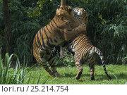 Купить «Sumatran tigers (Panthera tigris sumatrae) fighting, captive, native to Sumatra, Indonesia.», фото № 25214754, снято 20 февраля 2020 г. (c) Nature Picture Library / Фотобанк Лори