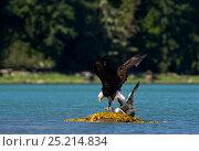 Купить «Bald eagle (Haliaeetus leucocephalus) with Mew gull prey (Larus canus)  Knight Inlet, Vancouver Island, British Columbia, Canada, July.», фото № 25214834, снято 24 февраля 2018 г. (c) Nature Picture Library / Фотобанк Лори