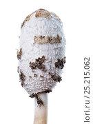 Купить «Shaggy ink cap (Coprinus comatus) growing, Slovenia, Europe, October Meetyourneighbours.net project», фото № 25215062, снято 14 декабря 2017 г. (c) Nature Picture Library / Фотобанк Лори