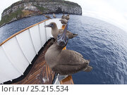Купить «Fish-eye view of Blue-footed Boobies (Sula nebouxii) sitting on bow of vessel. Wolf Island, Galapagos Islands.», фото № 25215534, снято 7 июля 2020 г. (c) Nature Picture Library / Фотобанк Лори