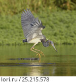 Купить «Tricolored Heron (Egretta tricolor) fishing.Everglades National Park, Florida, USA, March.», фото № 25215578, снято 17 июня 2019 г. (c) Nature Picture Library / Фотобанк Лори