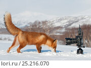 Купить «Red fox (Vulpes vulpes) investigating camera, Kamchatka, Far East Russia.», фото № 25216070, снято 27 мая 2019 г. (c) Nature Picture Library / Фотобанк Лори