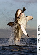 Купить «Great white shark (Carcharodon carcharias) breaching whilst attacking seal decoy, Seal Island, False Bay South Africa.», фото № 25216086, снято 17 июня 2019 г. (c) Nature Picture Library / Фотобанк Лори