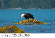 Купить «Bald eagle (Haliaeetus leucocephalus) on rock removing Mew gull's (Larus canus) feathers before feeding, Knight Inlet, Vancouver Island, British Columbia, Canada, July.», фото № 25216366, снято 22 июня 2018 г. (c) Nature Picture Library / Фотобанк Лори
