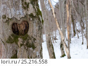 The bark of the tree in the form of heart. Стоковое фото, фотограф Юлия Доленко / Фотобанк Лори