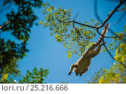 Купить «Ring-tailed lemur (Lemur catta) Anja Private Reserve, near Ambalavao, Central Madagascar.», фото № 25216666, снято 22 сентября 2018 г. (c) Nature Picture Library / Фотобанк Лори
