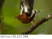 Купить «Male Club-winged Manakin (Machaeropterus deliciosus) hitting his wings together (stridulating) over his back to produce a sound.  Milpe Cloudforest Reserve, Ecuador, January. Endemic.», фото № 25217394, снято 23 марта 2019 г. (c) Nature Picture Library / Фотобанк Лори