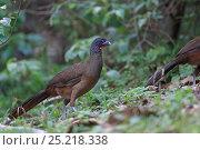 Купить «Rufous-vented Chachalaca (Ortalis ruficauda ruficauda) Tobago, Trinidad and Tobago May», фото № 25218338, снято 17 июля 2019 г. (c) Nature Picture Library / Фотобанк Лори