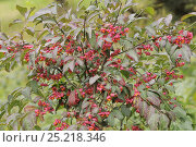 Купить «Spindle (Euonymus europaeus) 'Red Cascade' close up of berries, England, UK, October.», фото № 25218346, снято 24 января 2018 г. (c) Nature Picture Library / Фотобанк Лори