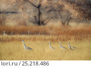Sandhill cranes (Grus canadensis) in wetland in the evening, Bosque del Apache National Wildlife Refuge, New Mexico.  January 2013. Стоковое фото, фотограф Jack Dykinga / Nature Picture Library / Фотобанк Лори
