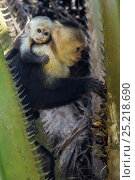 Купить «White-faced Capuchin (Cebus capucinus imitator) mother with infant feeding on palm fruit. Osa Peninsula, Costa Rica», фото № 25218690, снято 21 сентября 2019 г. (c) Nature Picture Library / Фотобанк Лори