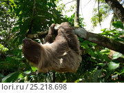 Unau / two-toed sloth (Choloepus didactylus) climbing in tree, French Guiana. Стоковое фото, фотограф Daniel Heuclin / Nature Picture Library / Фотобанк Лори