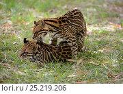 Купить «Ocelot (Leopardus pardalis) mating, French Guiana, captive.», фото № 25219206, снято 19 июля 2019 г. (c) Nature Picture Library / Фотобанк Лори