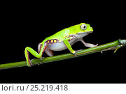 Купить «White-lined leaf frog (Phyllomedusa vaillantii) walking along branch, South America», фото № 25219418, снято 22 августа 2018 г. (c) Nature Picture Library / Фотобанк Лори