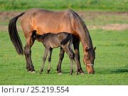 Купить «Five day old purebred Andalusian foal (Equus caballus) suckling from mare, Alsace, France, May.», фото № 25219554, снято 26 мая 2019 г. (c) Nature Picture Library / Фотобанк Лори