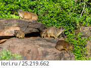 Rock hyrax (Procavia capensis) group on a rock, Lake Bogoria Game Reserve, Kenya. Стоковое фото, фотограф Denis-Huot / Nature Picture Library / Фотобанк Лори