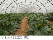 Купить «Polytunnel with courgettes growing, Cidamos gardens, Alpilles, France, October 2012.», фото № 25220102, снято 18 июля 2018 г. (c) Nature Picture Library / Фотобанк Лори