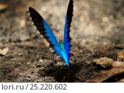 Mountain blue (Papilio ulysses) butterfly mud-puddlingBird's Head... Стоковое фото, фотограф Tim Laman / Nature Picture Library / Фотобанк Лори