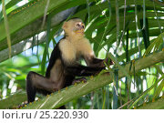 Купить «White-faced Capuchin (Cebus capucinus imitator) chewing on grass, with face covered in pollen from flower, Osa Peninsula, Costa Rica», фото № 25220930, снято 21 сентября 2019 г. (c) Nature Picture Library / Фотобанк Лори