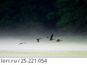 Купить «Canada geese (Branta canadensis) flying over the water of the estuary in the morning mist, Khutzeymateen Grizzly Bear Sanctuary, British Columbia, Canada, June.», фото № 25221054, снято 17 июля 2019 г. (c) Nature Picture Library / Фотобанк Лори