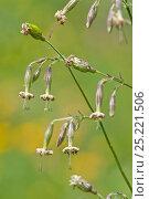 Купить «Nottingham Catchfly (Silene nutans) in flower, Picos de Europa, Spain», фото № 25221506, снято 25 марта 2019 г. (c) Nature Picture Library / Фотобанк Лори