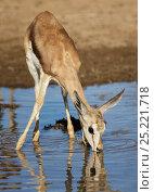 Купить «Springbok (Antidorcas marsupialis) lamb drinking from rainwater puddle. Kgalagadi Transfrontier Park, South Africa January», фото № 25221718, снято 22 августа 2018 г. (c) Nature Picture Library / Фотобанк Лори