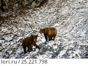 Купить «Two Grizzly bears (Ursus arctos horribilis) walking on a neve (granular compacted) snow, on a hot sunny spring day , Khutzeymateen Grizzly Bear Sanctuary, British Columbia, Canada, June.», фото № 25221798, снято 25 сентября 2018 г. (c) Nature Picture Library / Фотобанк Лори
