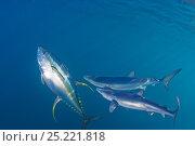 Купить «Blue Sharks (Prionace glauca) and Yellowfin tuna (Thunnus albacares) Cape Point, South Africa.», фото № 25221818, снято 22 августа 2018 г. (c) Nature Picture Library / Фотобанк Лори