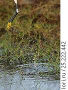 Купить «Little egret (Egretta garzetta) taking off, Pulicat Lake, Tamil Nadu, India, January 2013.», фото № 25222442, снято 24 января 2019 г. (c) Nature Picture Library / Фотобанк Лори