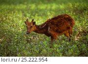 Купить «Visayan Spotted Deer (Rusa / Cervus alfredi). Silliman University Breeding Center, Negros Island. Philippines. Endangered.», фото № 25222954, снято 19 июня 2019 г. (c) Nature Picture Library / Фотобанк Лори