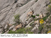 Купить «Bokharan Markhor (Capra falconeri heptneri) herd of males, searching for food in the evening, at altitude of 2200m, Dashti Jum Reserve, Tadjikistan, April», фото № 25223054, снято 20 августа 2018 г. (c) Nature Picture Library / Фотобанк Лори