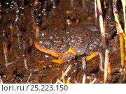 Купить «Sunset Frog (Spicospina flammocaerulea) Denmark, Western Australia», фото № 25223150, снято 26 мая 2019 г. (c) Nature Picture Library / Фотобанк Лори