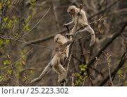 Купить «Yunnan Snub-nosed monkeys (Rhinopithecus bieti) interacting, Ta Chen NP, Yunnan province, China», фото № 25223302, снято 21 февраля 2019 г. (c) Nature Picture Library / Фотобанк Лори