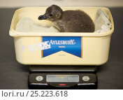 Купить «African penguin (Spheniscus demersus) being weighed, part of Chick Bolstering Project, Southern African Foundation for the Conservation of Coastal Birds (SANCCOB), South Africa May 2012», фото № 25223618, снято 22 августа 2018 г. (c) Nature Picture Library / Фотобанк Лори