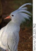 Купить «Kagu (Rhynochetos jubatus) portrait, New Caledonia, endangered and endemic», фото № 25223762, снято 18 января 2019 г. (c) Nature Picture Library / Фотобанк Лори