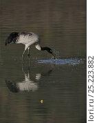 Купить «Black-necked crane (Grus nigricollis) catching fish, Napa Lake, Yunnan province, China», фото № 25223882, снято 20 июля 2019 г. (c) Nature Picture Library / Фотобанк Лори