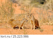 Купить «Yellow Mongooses (Cynictis penicillata) Kgalagadi National Park, South Africa», фото № 25223986, снято 5 августа 2020 г. (c) Nature Picture Library / Фотобанк Лори