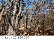 Купить «Octopus trees (Didierea trollii) in Thorny forest, Berenty Reserve, South Madagascar, Africa», фото № 25224050, снято 20 июля 2018 г. (c) Nature Picture Library / Фотобанк Лори