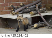Купить «Red fox (Vulpes vulpes) cub emerging from a wood pile near a house, Denver, Colorado, USA, April.», фото № 25224402, снято 21 ноября 2019 г. (c) Nature Picture Library / Фотобанк Лори