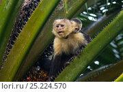 Купить «White-faced Capuchin (Cebus capucinus imitator) mother and infant. Osa Peninsula, Costa Rica», фото № 25224570, снято 21 сентября 2019 г. (c) Nature Picture Library / Фотобанк Лори