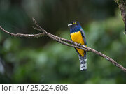 Купить «Violaceous Trogon (Trogon violaceus) male perched on branch, Northern Costa Rica, Central America», фото № 25224606, снято 18 июня 2019 г. (c) Nature Picture Library / Фотобанк Лори