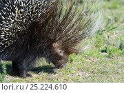 Cape Porcupine (Hystrix africaeaustralis) profile, deHoop Nature Reserve, Western Cape, South Africa. Стоковое фото, фотограф Tony Phelps / Nature Picture Library / Фотобанк Лори