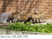 Купить «Four Red fox (Vulpes vulpes) cubs at the entrance to their den near a house, Denver, Colorado, USA, April.», фото № 25225102, снято 21 ноября 2019 г. (c) Nature Picture Library / Фотобанк Лори